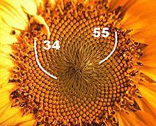goldene schnitt sonnenblume